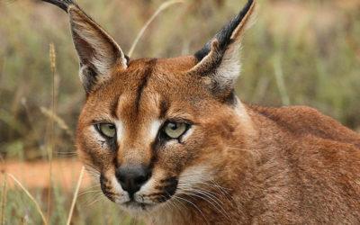 Caracal | Lynx